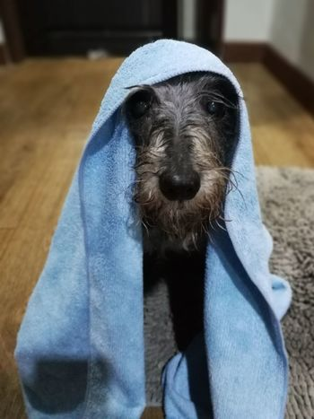 EyeEm Selects One Animal Animal Portrait Pets Looking At Camera Indoors  Animal Themes No People Dog Mammal Domestic Animals Close-up Day Schnauzers Schnauzersofinstagram Schnauzerlove Schnauzers Moments Pet Portraits