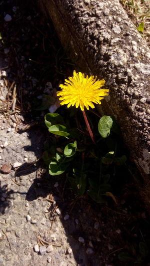 Fiore Filiere Glass Marciapiede Fiore Vegetale Giallo Strada