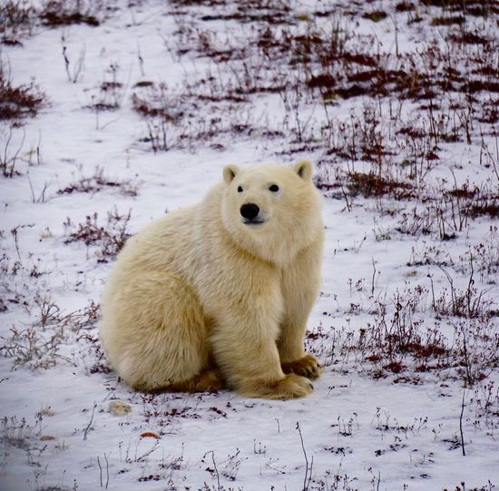 Young polar bear sitting still Animal Themes Animal Wildlife Animals In The Wild Bear Beauty In Nature CHURCHILL Cold Temperature Cute Day Endangered Species Environment Furry Hudson Bay Looking At Camera Mammal Nature No People North One Animal Outdoors Polar Bear Snow Wildlife Winter