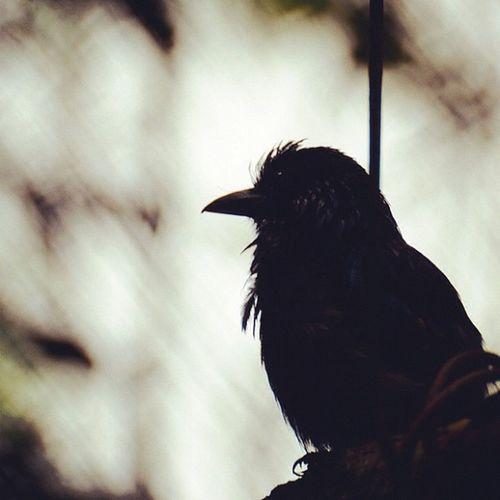 Angry Bird!!