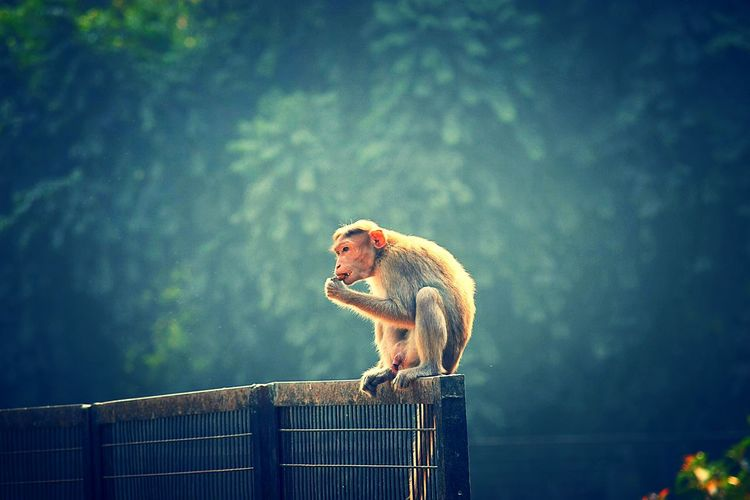 Monkey Sitting On Metal Fence Against Trees