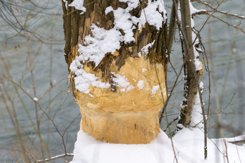 Snowy Tree in Winter. That's the result of the work of a Beaver - not Justin...💡😂 Background Beaver Branches Closeup Cold Frozen Ice Nature Outdoor Plant Snow Snowy Snowy Days... Trees Trunk