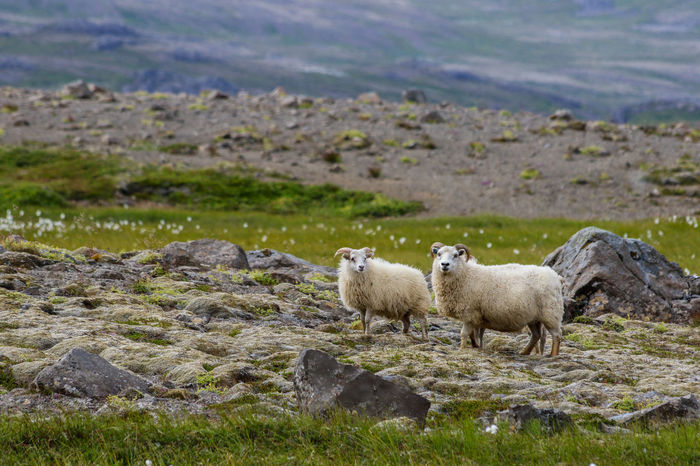 Sheeps. Animal Themes Animals In The Wild Beauty In Nature Day Domestic Animals Grass Island Landscape Livestock Mammal Nature No People Outdoors Rock - Object Sheep Sheeps Young Animal Young Sheep