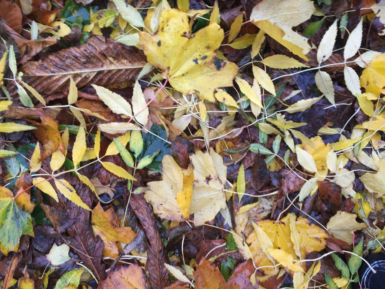 HIGH ANGLE VIEW OF YELLOW MAPLE LEAVES ON AUTUMNAL