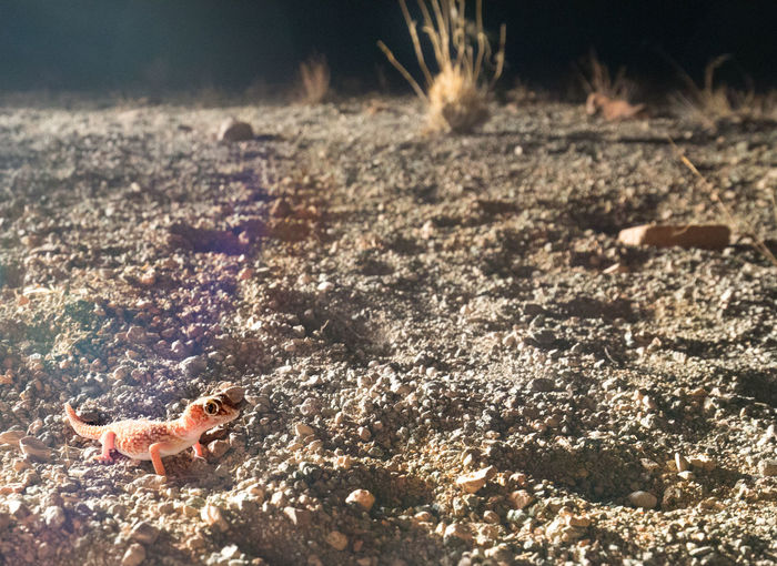 A Barking Gecko lit by torchlight in Namib Desert Barking Gecko Torchlight Travel Destinations No People Namibia Desert Africa Wildlife & Nature Wildlife Photography Wilderness Miles Away Remote Location Reptile Reptile Photography