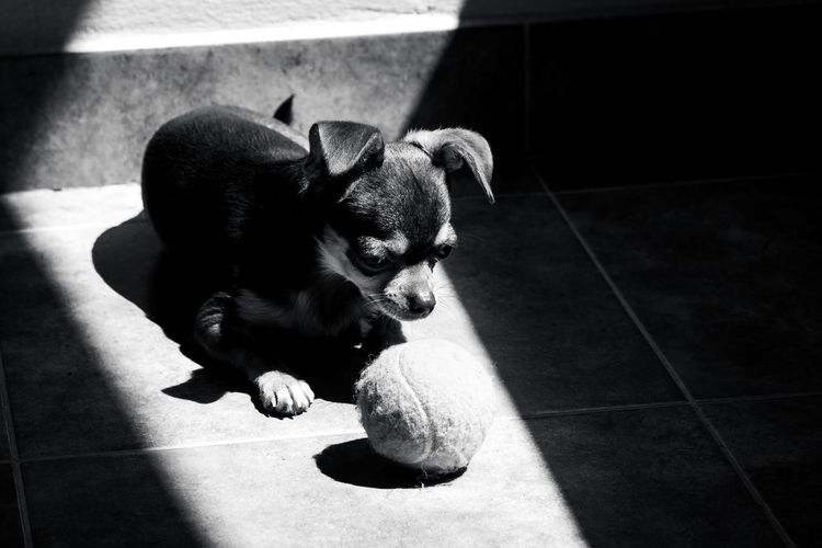 Cute little brown chihuahua dog looking sadly at his tennis ball at sunlight in black and white