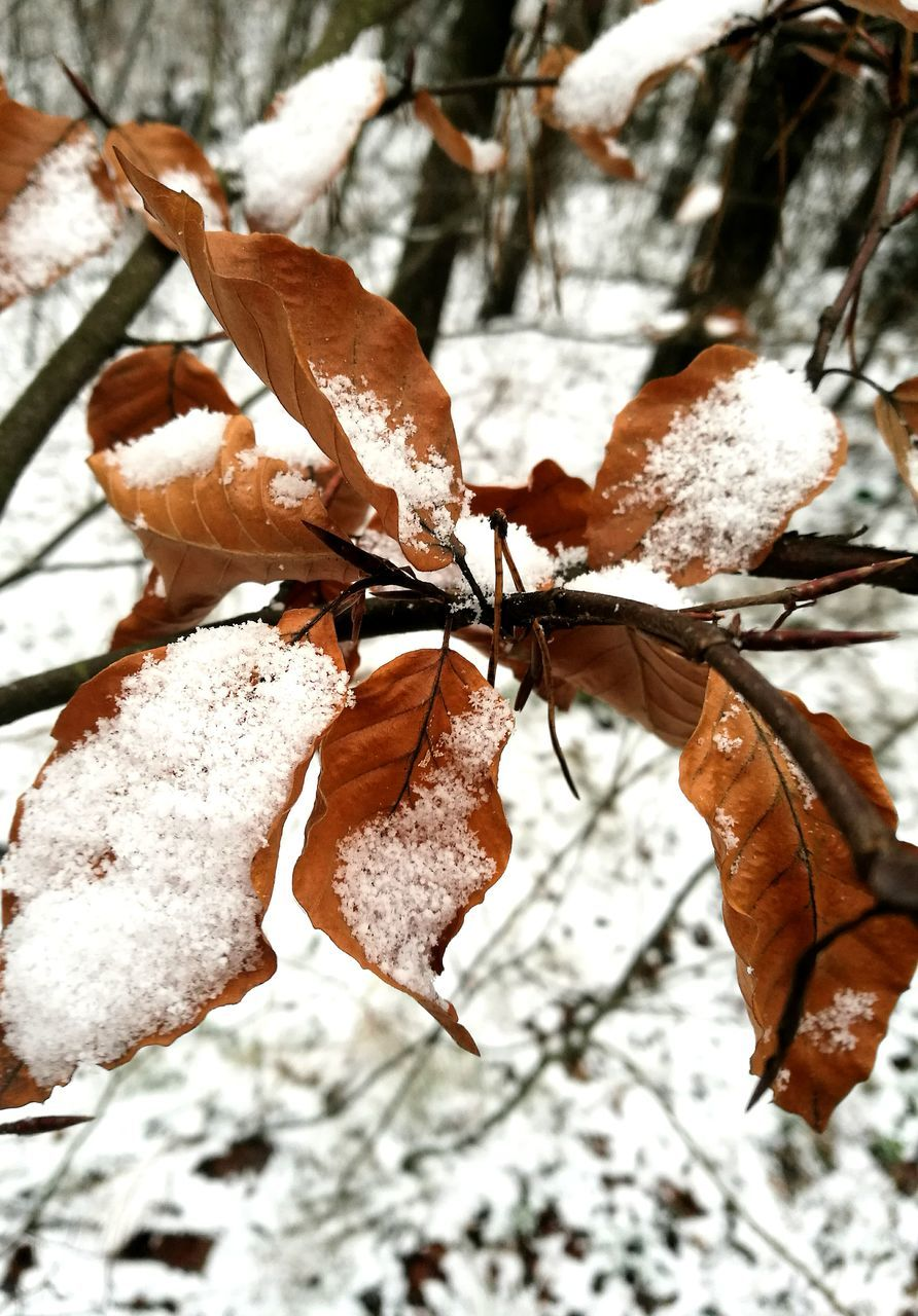 winter, cold temperature, nature, snow, leaf, weather, beauty in nature, frozen, close-up, dry, day, ice, outdoors, autumn, focus on foreground, no people, branch, fragility, tree, dried plant, freshness