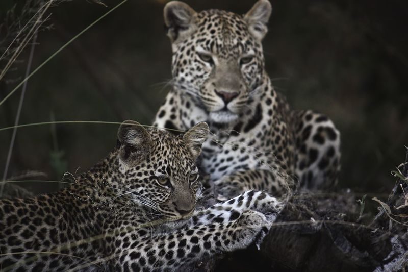 Leopard With Cub Relaxing On Field