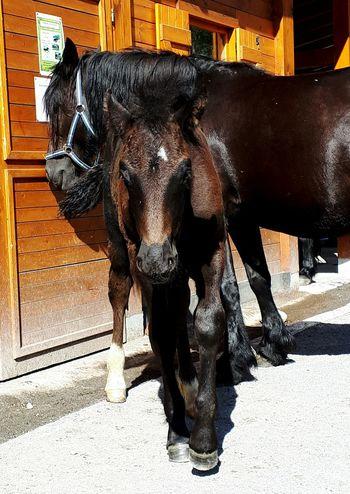 Fohlen Frankreich Urlaub Pferd Schwarz Animal Themes Andorra Spanien Frankreich Familie Hengst
