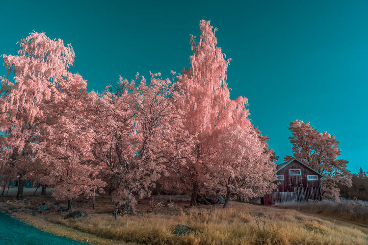 Cherry blossom trees on field against blue sky