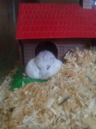 My Hamster Sleep Hamster