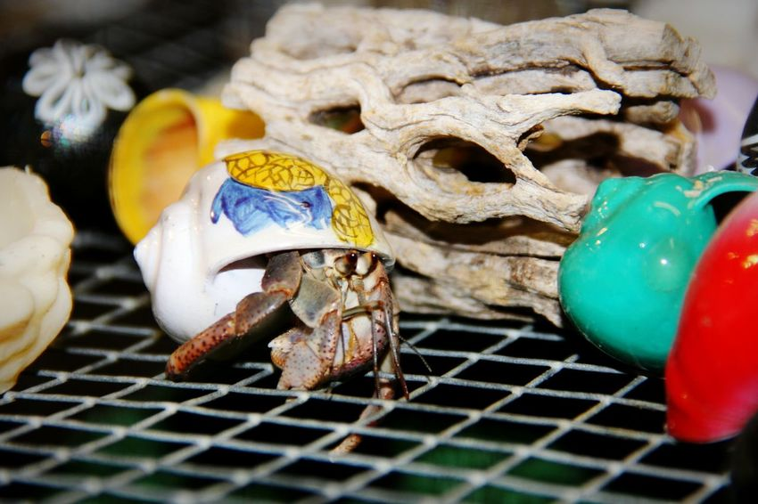Hermit Crab Painted Painted Shells Shells Colorful Poor  Animals Capture The Moment Nature Crab Cage Creative Creativity Animal Photography Animal_collection Animal