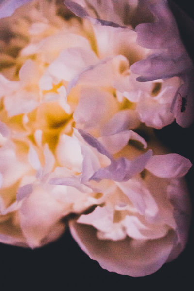 Beauty In Nature Blooming Blossom Close-up Day Flower Flower Head Fragility Freshness Growth Nature No People Pedal Peony  Petal Plant Scented