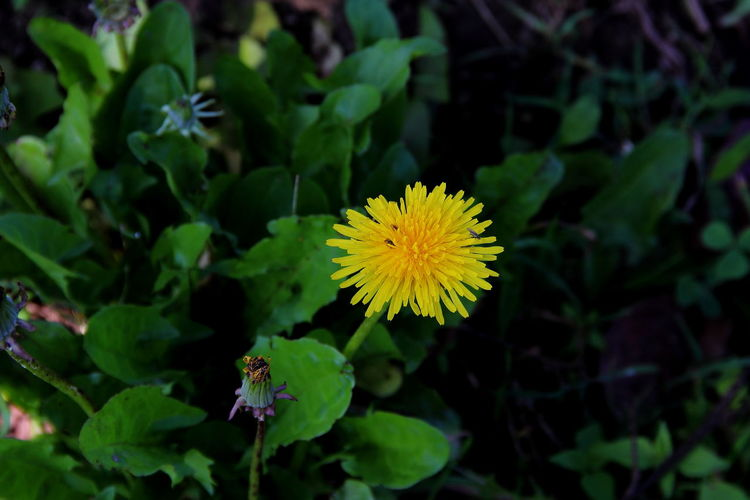 Beauty In Nature Blooming Close-up Dandelion Dandelion Collection Diente De León Flower Flower Head Fragility Freshness Growth Nature Outdoors Petal Plant Yellow
