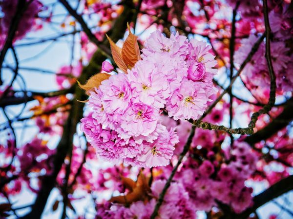 EyeEm Selects Flower Cherry Blossom Branch Blossom Pink Color Springtime Fragility Beauty In Nature Tree Nature Growth No People Day Freshness Outdoors Close-up Low Angle View Petal Flower Head