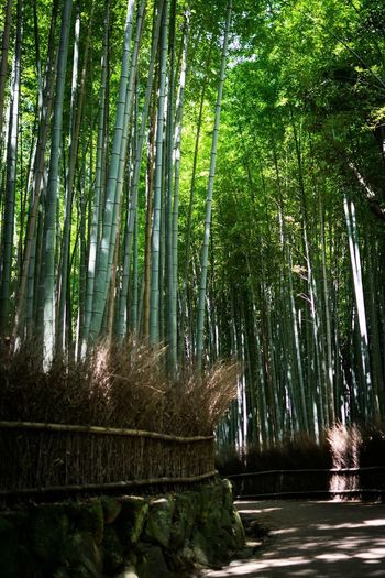 Bamboo Forest - Kyoto - Japan Photooftheday Travel Forest EyeEmNewHere The Traveler - 2018 EyeEm Awards Tree Plant Forest Bamboo - Plant Beauty In Nature Growth Bamboo Grove Nature Green Color No People Tranquility Bamboo Scenics - Nature Non-urban Scene Tranquil Scene Day Land Outdoors Travel Destinations The Traveler - 2018 EyeEm Awards EyeEmNewHere