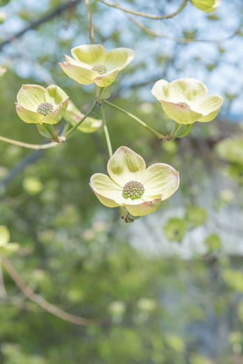 Close-up of blooming white flowering dogwood blossoms in early spring Plant Flower Close-up Petal Nature Tree Branch Springtime Spring Outdoors Day Flowering Dogwood White Dogwood Cornus Florida Copy Space Background May Afternoon Sky Blue Leaves Green White Selective Focus Isolation