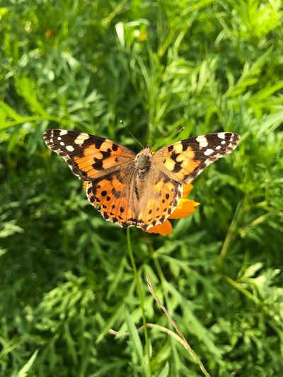 Vanessa cardui One Animal Insect Butterfly - Insect Animals In The Wild Animal Themes Butterfly Nature Plant Green Color Wildlife Outdoors No People Day Close-up Beauty In Nature Leaf Animal Wildlife Animal Markings Growth Full Length Orange Color Vanessa Cardui Painted Lady Cosmopolitan