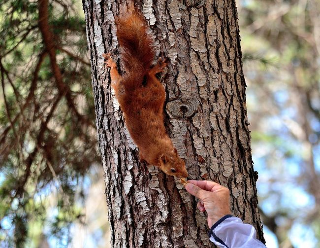 Esquirol al