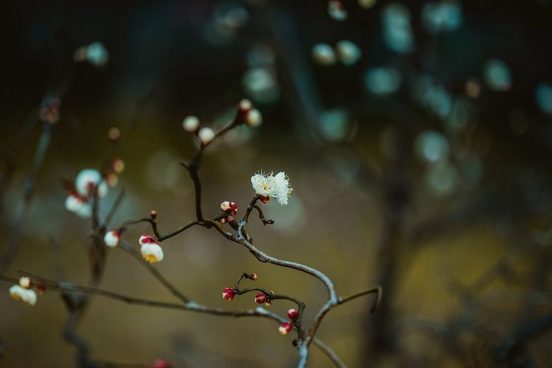 Bokeh Photography Bokeh Chill Cold First Blossom January In Blossom Blossoming  Blossoms  Japanese Apricot Ume Blossom Ume Day Outdoors Sunlight Growth Selective Focus Beauty In Nature Flowering Plant Decoration