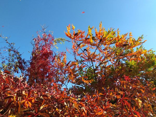 Autumn Herbst Tree Flower Clear Sky Multi Colored Branch Sky Close-up Fall Treetop Autumn Collection Growing