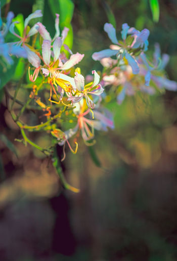 Flowers Under Sunlight Bauhinia Beauty In Nature Blooming Flower Bokeh Photography Close-up Colorful Nature EyeEmNewHere Floral Flower Flower Head Fragility Freshness Growth Macro Nature Nature No People Plant Sunlight And Shadow Vibrant Colors