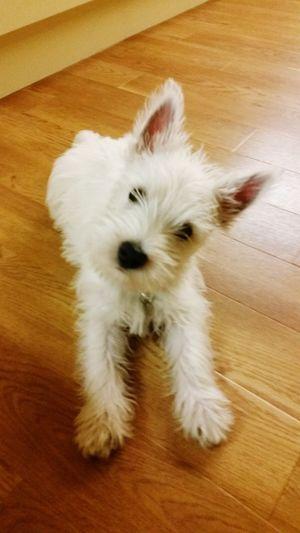 Pets Dog Domestic Animals One Animal Cute Indoors  Hardwood Floor