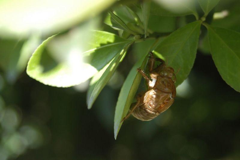 Close-up of cicada on leaf