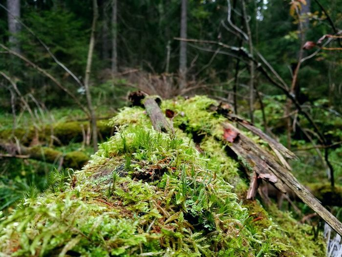 Nature Forest No People Outdoors Green Color Day Tree Moss Growth Tranquility Beauty In Nature Close-up Branch EyeEm Taking Photos Autumn Outdoor Photography Outdoor Discovering Nature Life And Death In Nature Dead Tree Giving Life Searching Photography Nature Photography PhonePhotography
