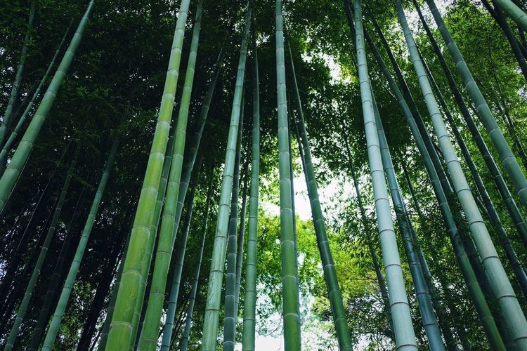 Bamboo forest Plant Low Angle View Growth Tree Beauty In Nature Green Color Bamboo - Plant Forest Bamboo Nature Tranquility No People Tall - High Bamboo Grove Outdoors