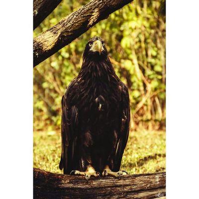 A eagle. Eagle TierparkBerlin CripixtMovement Michaellangerfotografie Tierfotografie Fotografie Impression Photography Photographyislife