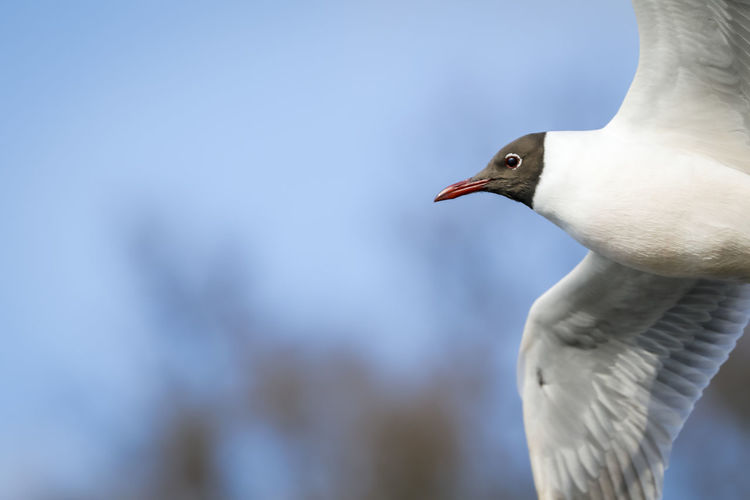 black headed seagull In Front Of Me Animal Themes Animal Wildlife Animals In The Wild Beak Beauty In Nature Bird Birds Black Headed Gull Blue Sky Close-up Day Flying Focus On Foreground Migrating Nature No People One Animal Open Outdoors Seagull