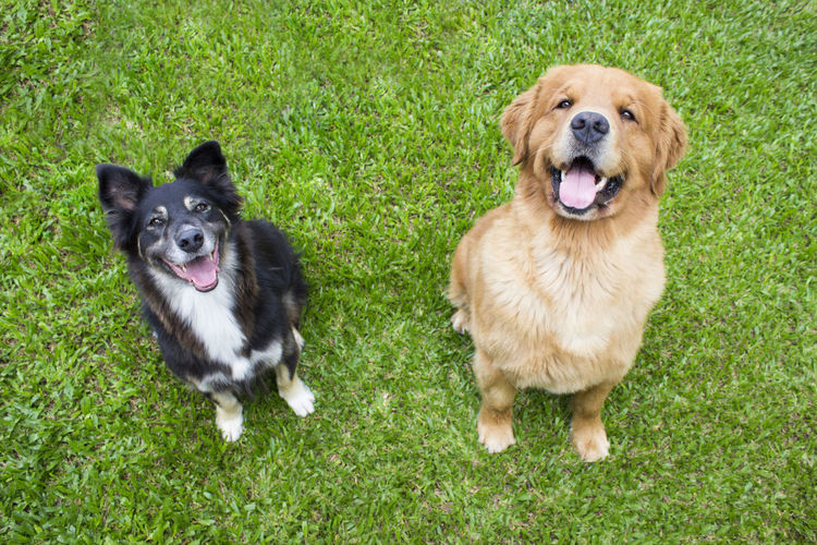 High Angle Portrait Of Dogs On Grassy Field