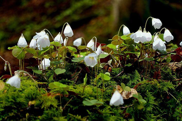 ☘ 😚 Glücksklee Waldboden Godsgarden Whitebeauty Waldblumen Waldspaziergang Wald Am Wegesrand