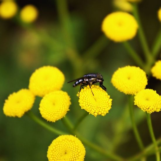 Yellow Insect