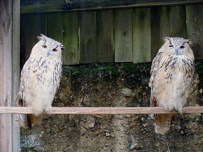 Animal Animal Photography Animal Potrait Animal Themes Bird Bird Photography Birds Day Eagle Owl  No People Outdoors Owl