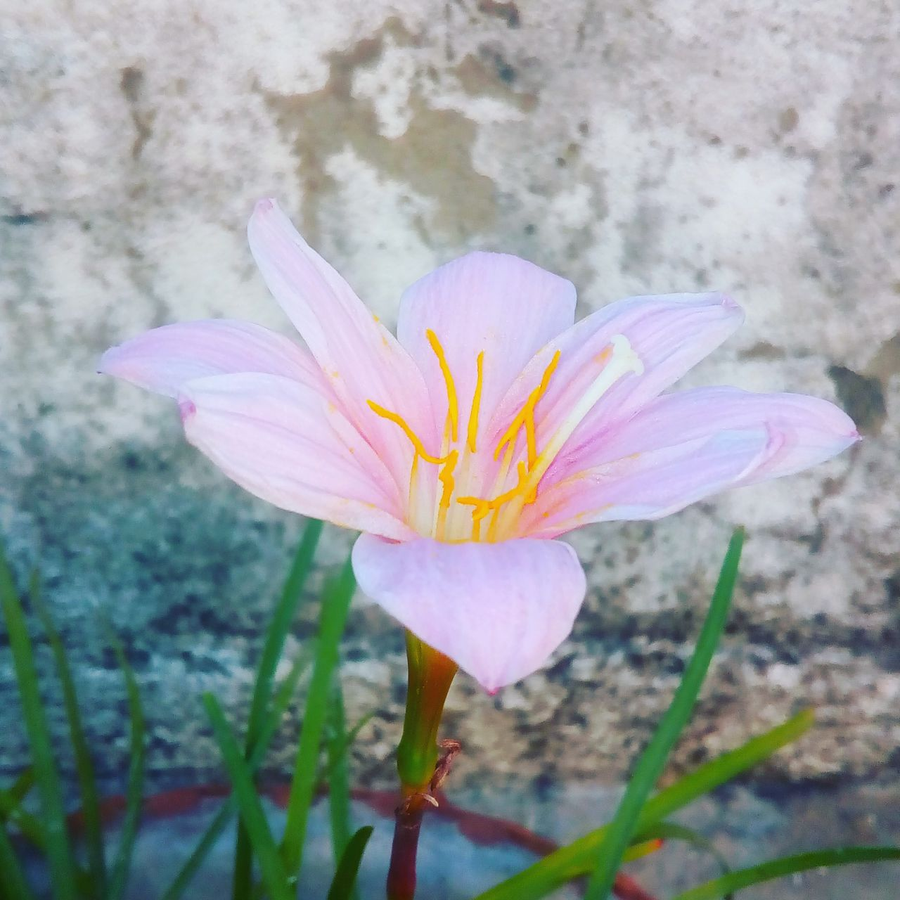 flower, petal, fragility, flower head, freshness, beauty in nature, nature, growth, day, close-up, blooming, plant, outdoors, no people, pink color, springtime, crocus
