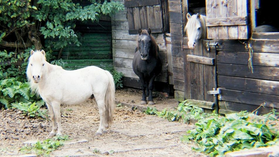 Animal Themes Domestic Animals Livestock Mammal No People Outdoors Animal Ranch Day Agriculture Pets Tree Grass Hoofed Mammal Nature Horses Three Animals Three Horses Ponies Stables Stable Door