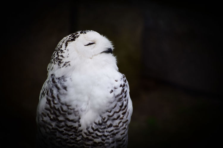 Close-Up Of Owl With Eyes Closed At Night