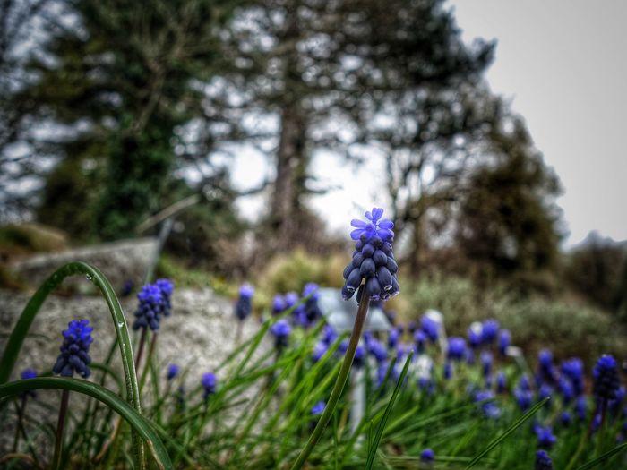 TraubenhyazinthepFloweraGarden Photographynhyazinten]BlueTraubeIphonephotography Sony Qx100tography