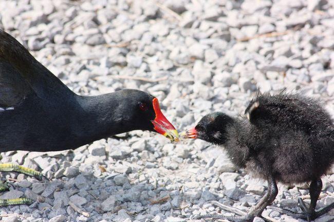 Ducking Moorhen Black Motherlove