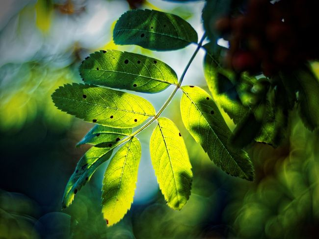Beauty In Nature Bokeh Claudetheen Close-up Green Green Color Leaf Summer Trees