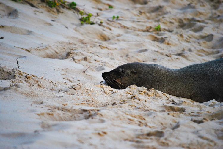 Elephant seal on a beach