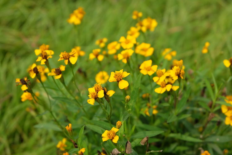yellow flower Flowering Plant Flower Plant Fragility Yellow Freshness Vulnerability  Growth Beauty In Nature Field Land Close-up Flower Head Nature Selective Focus Petal Inflorescence Day Focus On Foreground No People Outdoors