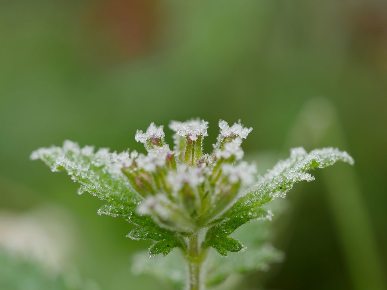 nature, cold temperature, white color, snow, winter, beauty in nature, white, fragility, no people, green color, weather, focus on foreground, drop, frozen, close-up, plant, day, freshness, outdoors, leaf, growth, flower, snowflake, flower head