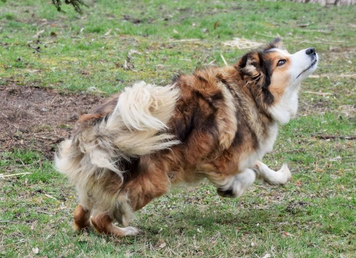 Animal Themes Mammal Domestic Animal Pets Domestic Animals One Animal Dog Grass Land Vertebrate Plant Field No People Nature Day Full Length Alertness