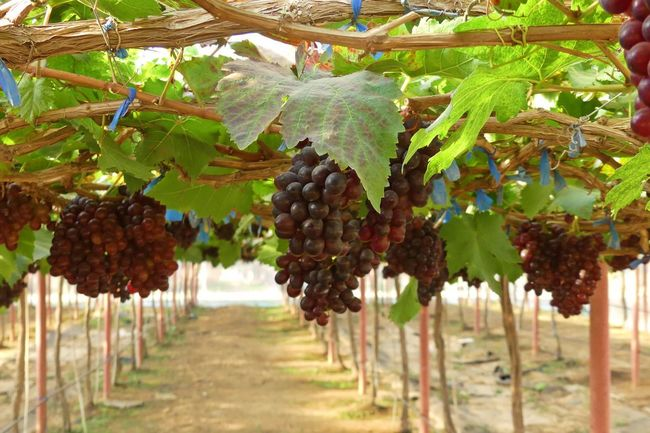 Bunch of Grapes Bunch Of Grapes Grapes🍇 Backgrounds Day Food Food And Drink Freshness Fruit Grape Grapes Grapes Nature Photography Healthy Eating Nature No People Purple Purple Color Ripe