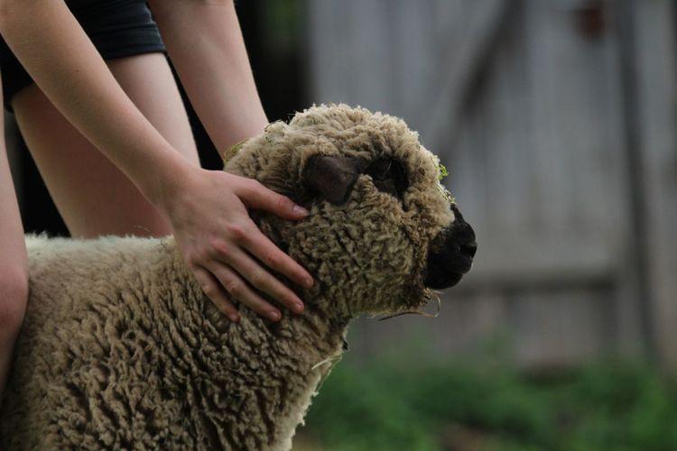 Cuddling sheep at the ranch