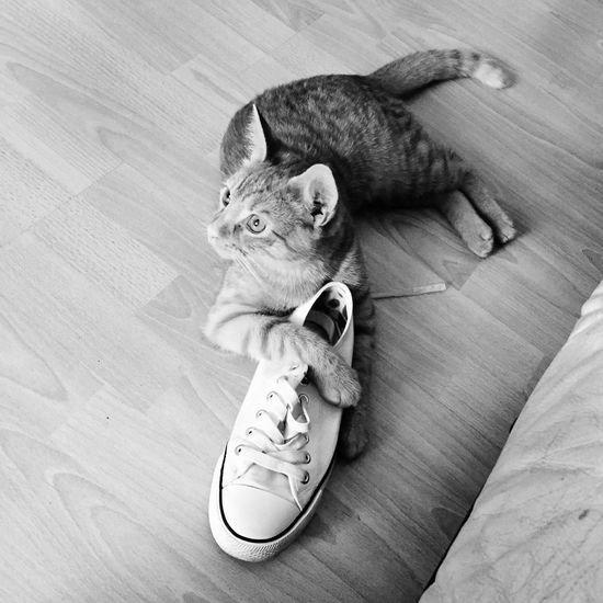 Cat One Animal Animal Themes Pets No People Indoors  Mammal Shoes Shoe Lover Oscar Beautiful Creature Black And White Black And White Photography Lieblingsteil