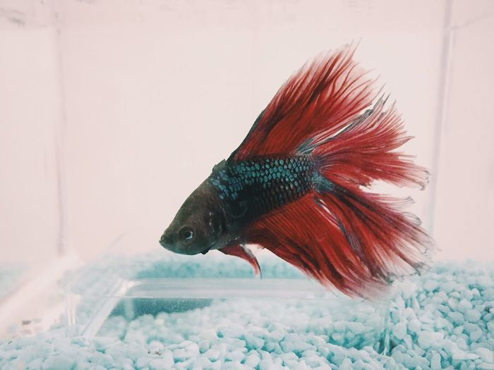 Close-up of siamese fighting fish swimming in tank